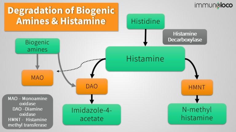 Histamine Metabolism & Degradation via DAO & HNMT